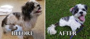 捨て犬の毛をキレイにカットしてるビフォーアフターの画像の数々!!の画像(4枚目)