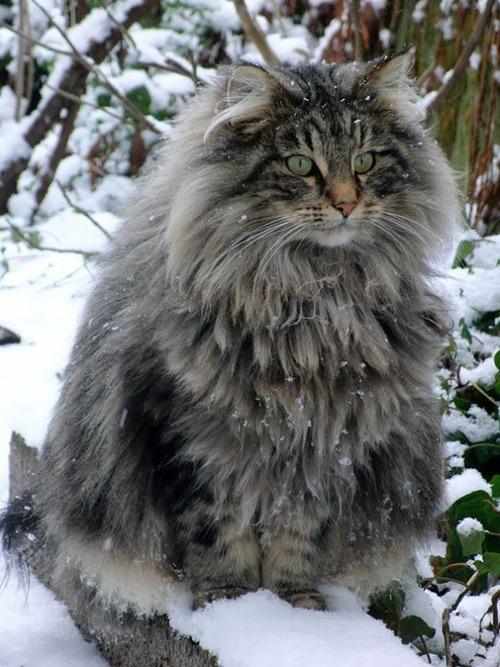 クソデカイ猫「メインクーン」の大きさがよく分る画像の数々!!の画像(17枚目)