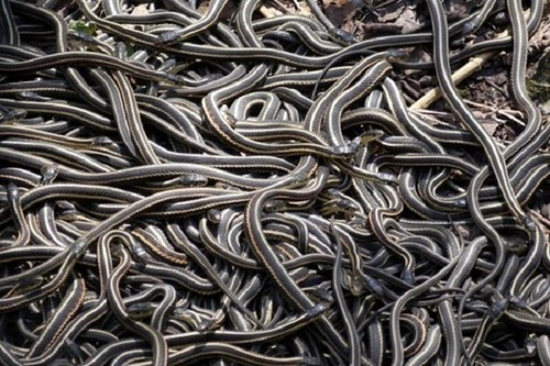 オーストラリアのヘビ事情の画像(13枚目)