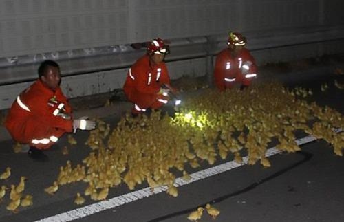 大量のアヒルの雛を運搬するトラックの画像(1枚目)