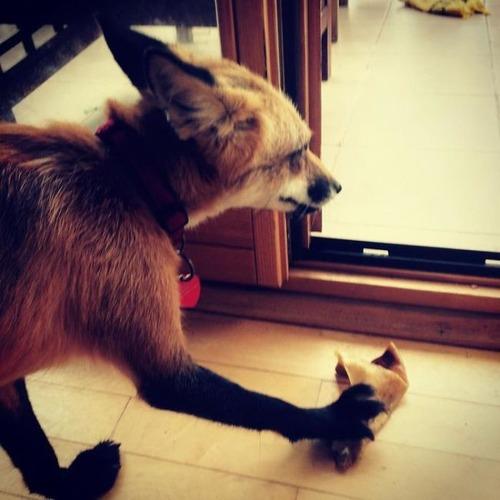 犬と猫と仲良しのキツネの画像(13枚目)
