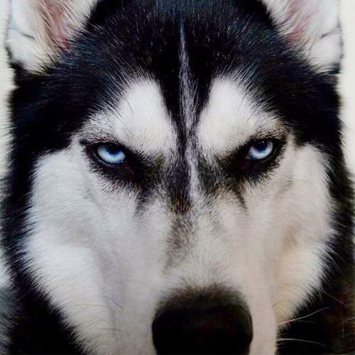 ハスキー犬のクリスマスのコスプレの画像(7枚目)