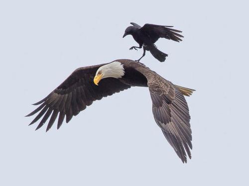 【画像】飛んでいる鷲(イーグル)の背中で休むカラス・・・の画像(2枚目)