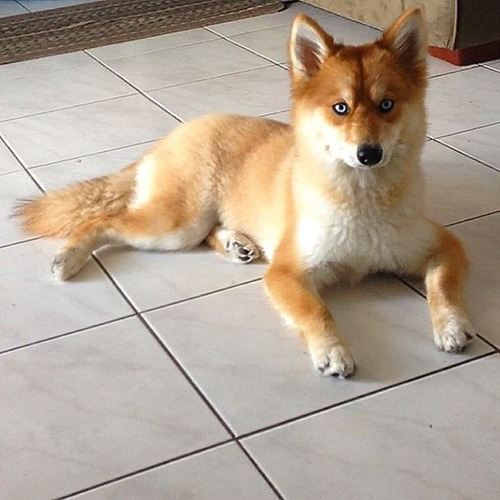 【画像】キツネなのか犬なのか分らないくらいキツネな犬がかっこ良くて可愛い!!の画像(5枚目)