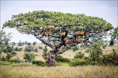 ライオンがたくさん集まる1本の不思議な木の画像を癒されるwwの画像(6枚目)