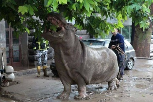 洪水で動物達が大脱走した時の写真の数々wwの画像(9枚目)