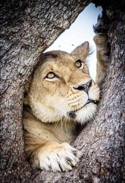 ライオンがたくさん集まる1本の不思議な木の画像を癒されるwwの画像(2枚目)