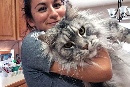 クソデカイ猫「メインクーン」の大きさがよく分る画像の数々!!の画像(1枚目)
