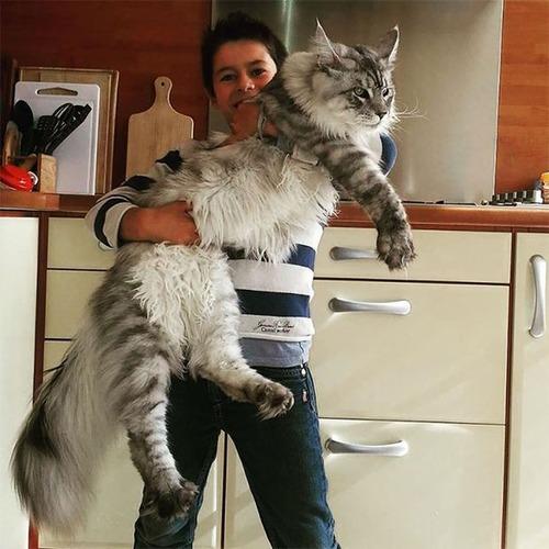 クソデカイ猫「メインクーン」の大きさがよく分る画像の数々!!の画像(2枚目)