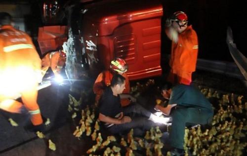 大量のアヒルの雛を運搬するトラックの画像(4枚目)