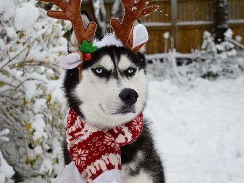 ハスキー犬のクリスマスのコスプレの画像(4枚目)