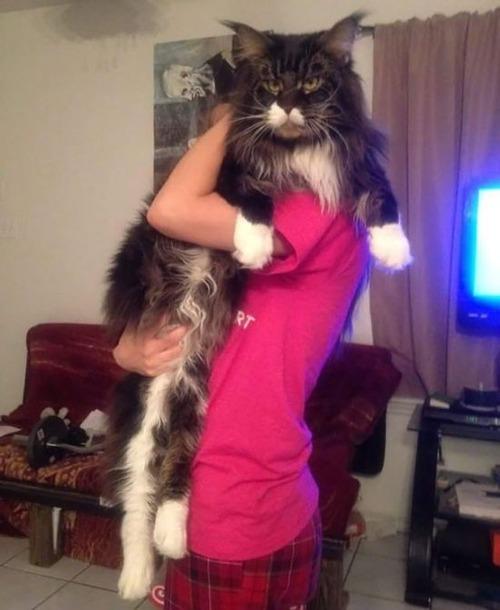 クソデカイ猫「メインクーン」の大きさがよく分る画像の数々!!の画像(28枚目)