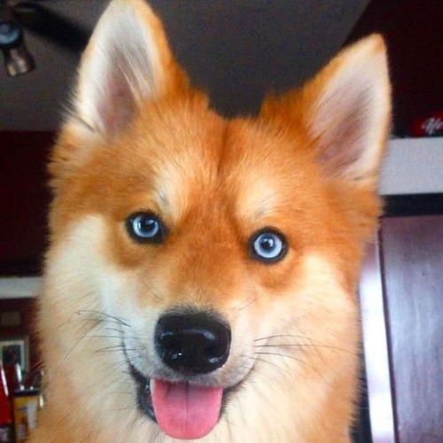 【画像】キツネなのか犬なのか分らないくらいキツネな犬がかっこ良くて可愛い!!の画像(1枚目)
