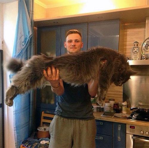 クソデカイ猫「メインクーン」の大きさがよく分る画像の数々!!の画像(9枚目)