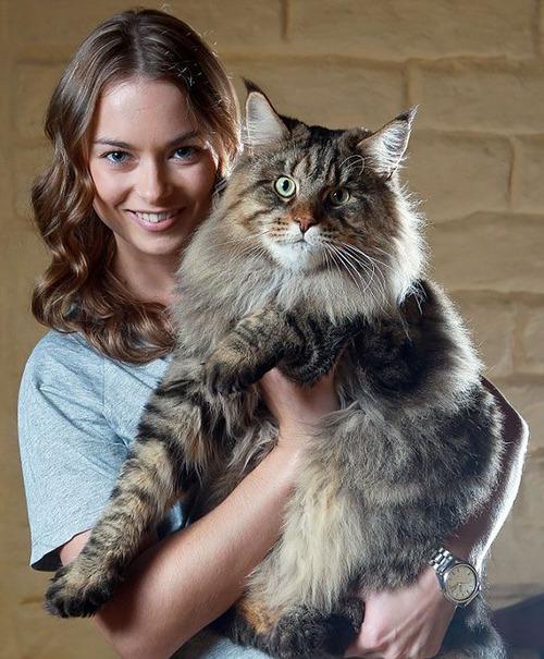 クソデカイ猫「メインクーン」の大きさがよく分る画像の数々!!の画像(20枚目)