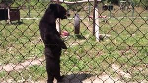 人間のように歩くクマの画像_000014408
