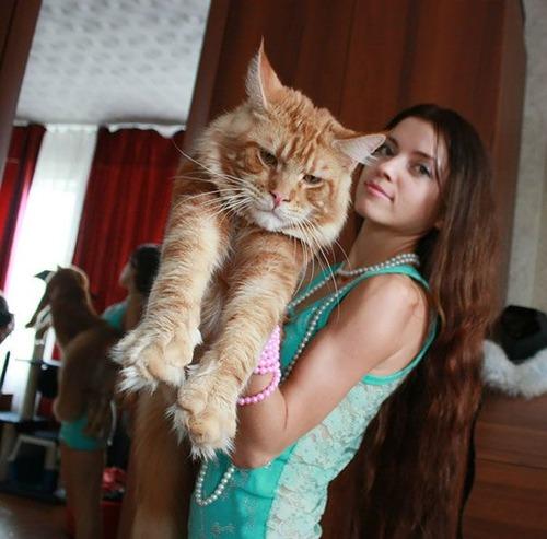 クソデカイ猫「メインクーン」の大きさがよく分る画像の数々!!の画像(18枚目)
