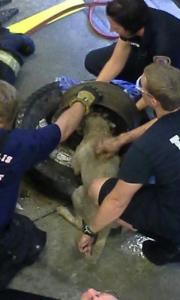 【画像】タイヤのホイールに頭がはまった犬の救助方法がなかなか凄い!!の画像(6枚目)