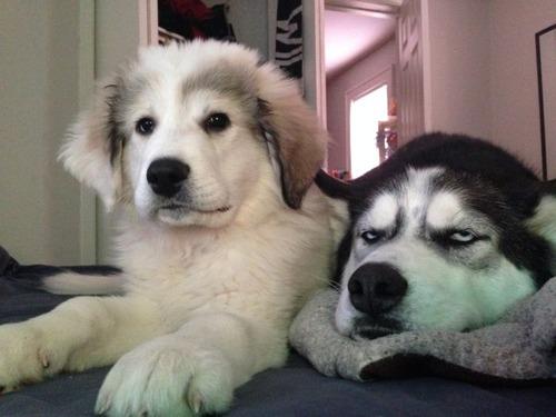 明らかに不機嫌!?凄く不満そうなシベリアンハスキー犬の画像wwの画像(4枚目)