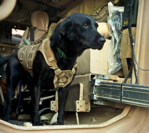 戦地での軍用犬の日常がわかるちょっと癒される画像の数々!!の画像(54枚目)
