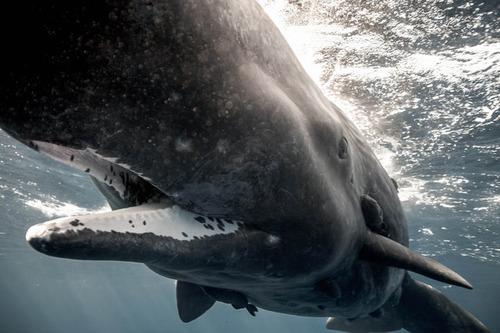 【画像】マッコウクジラといっしょに泳ぐダイバーの写真の画像(3枚目)