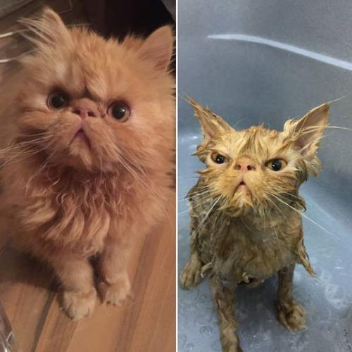 猫ちゃんの濡れる前後の比較の画像(3枚目)