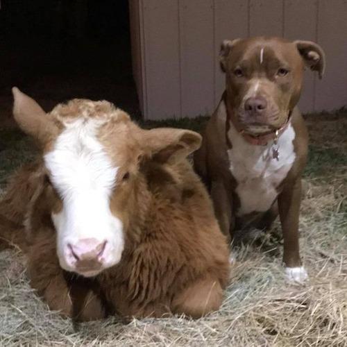 犬と子牛と一緒に生活しているの画像(5枚目)