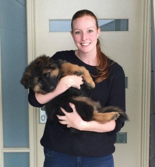 【画像】よく分る可愛いジャーマンシェパード犬の成長記録!!の画像(1枚目)