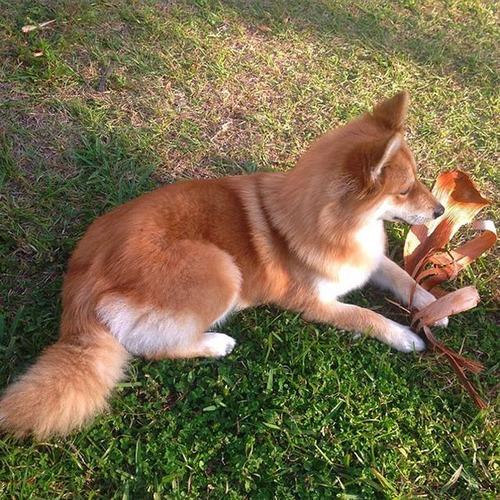【画像】キツネなのか犬なのか分らないくらいキツネな犬がかっこ良くて可愛い!!の画像(2枚目)