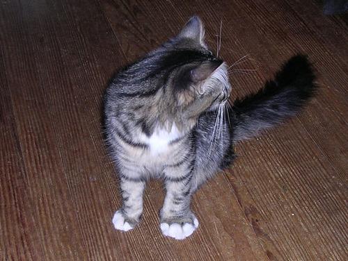 蜂に刺された猫が可愛いそうだけど可愛いwwwwの画像(1枚目)