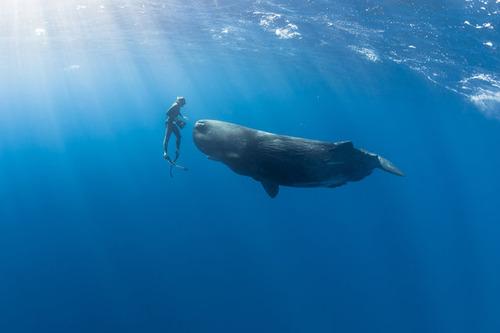 【画像】マッコウクジラといっしょに泳ぐダイバーの写真の画像(6枚目)