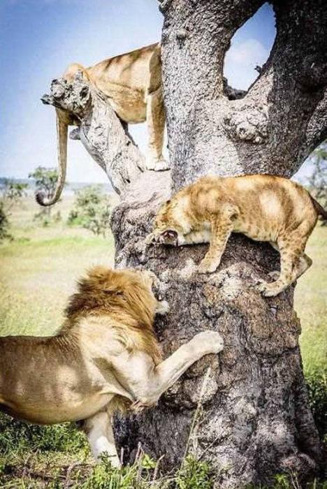 ライオンがたくさん集まる1本の不思議な木の画像を癒されるwwの画像(5枚目)