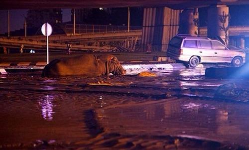 洪水で動物達が大脱走した時の写真の数々wwの画像(6枚目)
