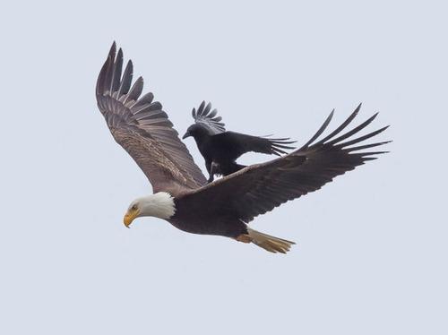 【画像】飛んでいる鷲(イーグル)の背中で休むカラス・・・の画像(4枚目)