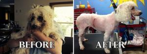 捨て犬の毛をキレイにカットしてるビフォーアフターの画像の数々!!の画像(16枚目)