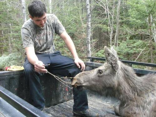 【画像】森の中で保護された巨大な鹿ムースの子供が可愛い!!の画像(5枚目)