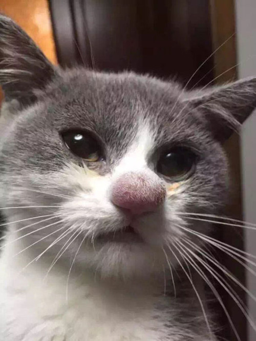 蜂に刺された猫が可愛いそうだけど可愛いwwwwの画像(5枚目)