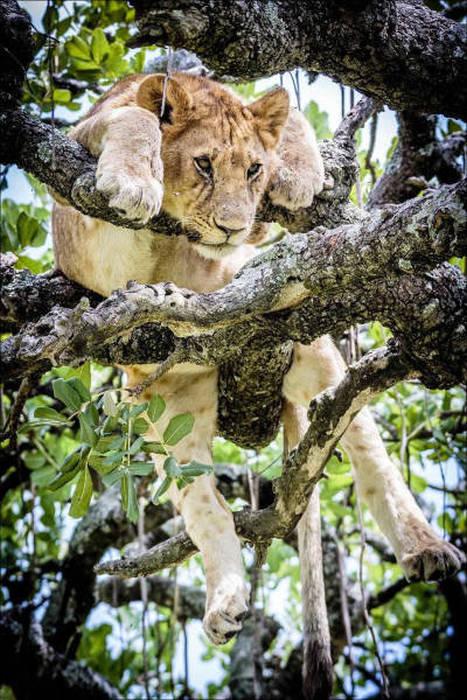ライオンがたくさん集まる1本の不思議な木の画像を癒されるwwの画像(9枚目)