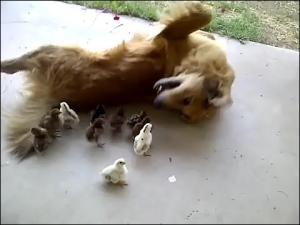 大量のヒヨコに襲われる犬の画像2
