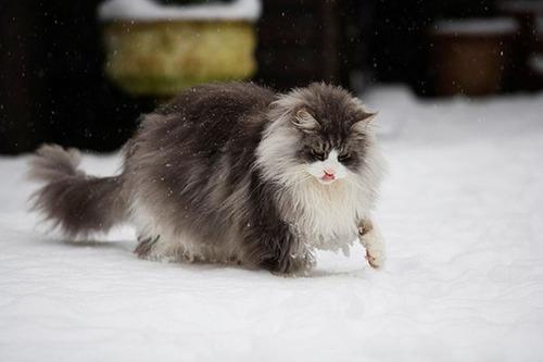 クソデカイ猫「メインクーン」の大きさがよく分る画像の数々!!の画像(13枚目)