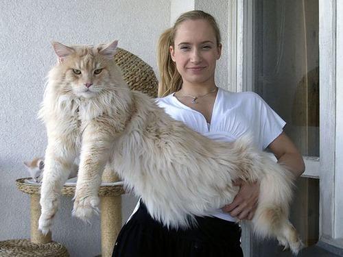 クソデカイ猫「メインクーン」の大きさがよく分る画像の数々!!の画像(15枚目)