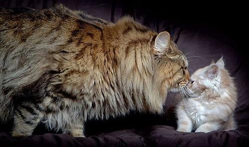 クソデカイ猫「メインクーン」の大きさがよく分る画像の数々!!の画像(5枚目)