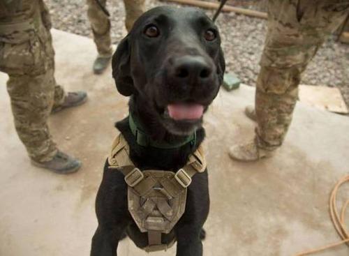 戦地での軍用犬の日常がわかるちょっと癒される画像の数々!!の画像(40枚目)