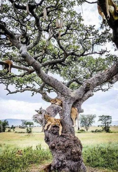 ライオンがたくさん集まる1本の不思議な木の画像を癒されるwwの画像(3枚目)