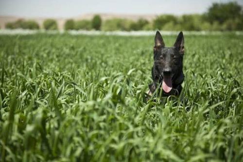戦地での軍用犬の日常がわかるちょっと癒される画像の数々!!の画像(72枚目)