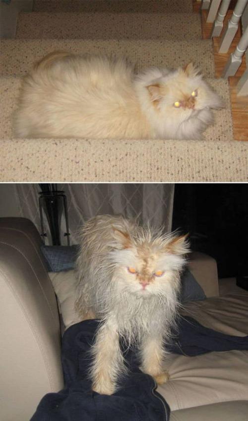 猫ちゃんの濡れる前後の比較の画像(9枚目)