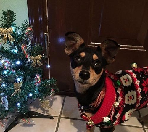 犬とクリスマスの画像(7枚目)