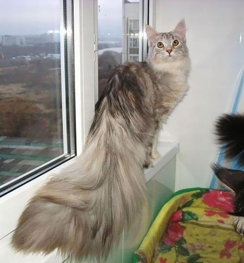 クソデカイ猫「メインクーン」の大きさがよく分る画像の数々!!の画像(23枚目)