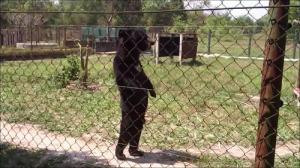 人間のように歩くクマの画像_000008626