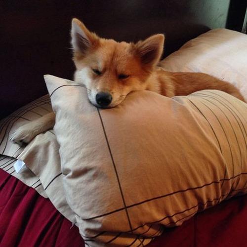【画像】キツネなのか犬なのか分らないくらいキツネな犬がかっこ良くて可愛い!!の画像(3枚目)